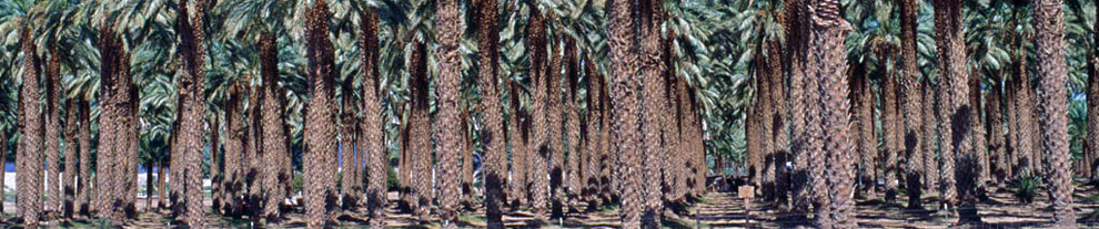 Hodel Palms and Trees