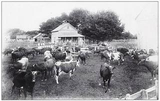 Dairy has always been an important industry in Humboldt. (Ferndale dairy farm in the early 1900s, Ferndale Museum)