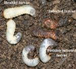Healthy vs. Nematode infected grubs