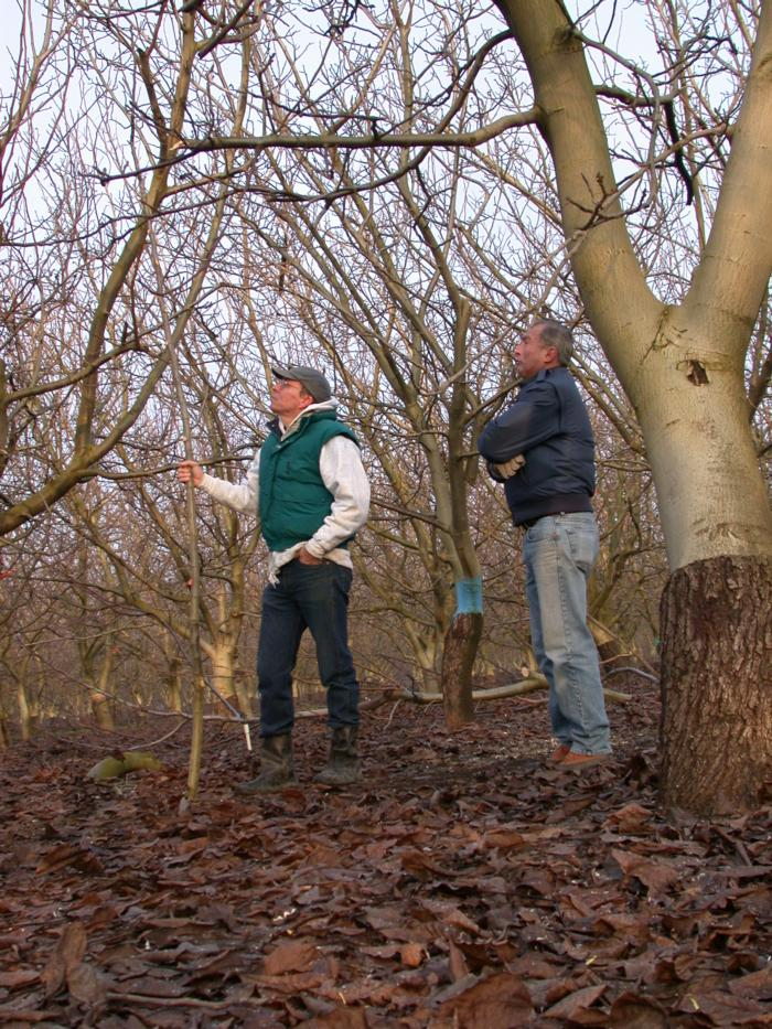 Bruce Lampinen and Dave Ramos overseeing walnut pruning Dixon Jan 17 2002