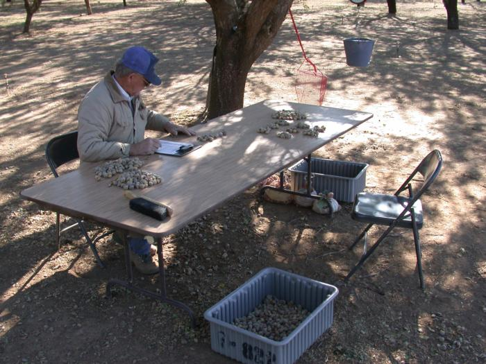 Jim Yeager counting almond Chico State Regional Variety Trial harvest Oct 2 2002