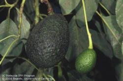 Avocado, young and mature fruit