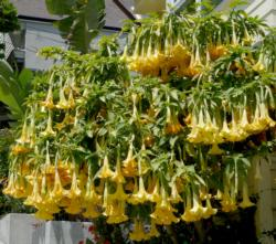 Brugmansia photo by James Gaither