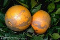 Damage caused by citrus thrip