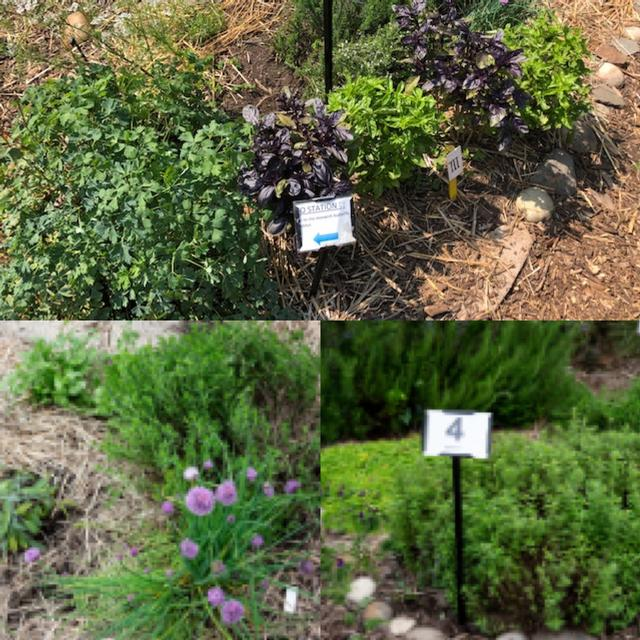 Herbs from planting to harvest