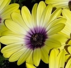osteospermum_blueeyed