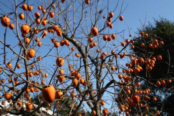Persimmon trees provide shade in summer and food in winter. (Photo: Marie Narlock)