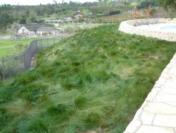 There are numerous alternatives to conventional turf grass, such as this hillside planted with red fescue. Photo: GardenSoft