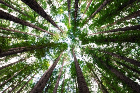 A grove of redwoods creates a cathedral of green. Photo: Arnaud Mesureur