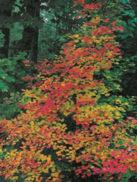 California's native vine maple is a blaze of color in the fall.  Photo: GardenSoft
