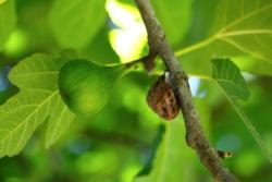 Snails will climb trees to devour soft, fleshy fruit such as figs. Photo: Foad Memeriaan, Unsplash