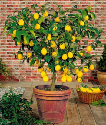 Citrus is an excellent choice for large pots on sunny decks and patios.  Photo: Gardensoft