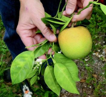 Huanglongbing causes citrus trees to defoliate and die. This disease is transmitted via the Asian citrus psyllid, a tiny pest no bigger than an aphid.