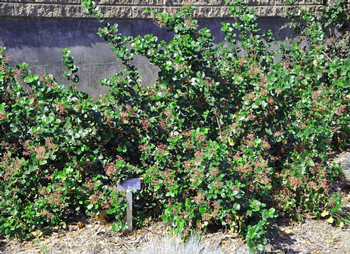 Ribes viburnifolium is a fragrant evergreen that thrives under oak trees. Photo: Plantmaster