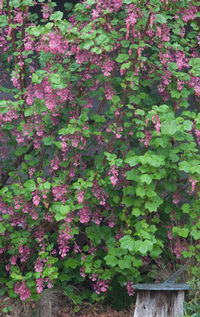 Ribes sanguineum glutinosum is a winter standout. Photo: Marybeth Kampman
