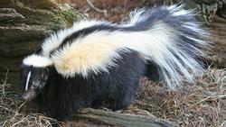 Striped_Skunk_(cropped)