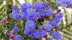 Ceanothus 'Dark Star' is a deer-resistant native shrub  that requires no water once mature.  Its blooms attract bees every spring. Photo: PlantMaster