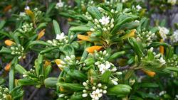 Pittosporum_Tobira_JPG0