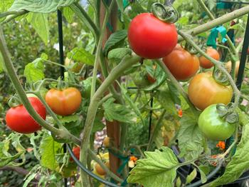 Tomatoes are a naturally vining plant. Stakes give support and cages minimize contact with soil and allow sun to ripen fruit. Photo: David S. Walker