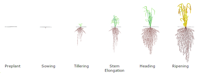 Barley nitrogen requirements are highest during stem elongation (photo credit: CDFA)