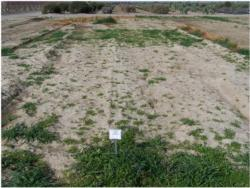 Surface sealing techniques can have a significant impact on weed control in plots fumigated with 1,3-dichloropropene. Photo B. Hanson.