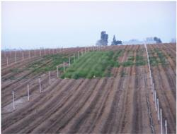 The large blocks (left to right) included MB, untreated, 1,3-D and small plot herbicide treatments, replicated in each fumigation block. Photo Hanson.