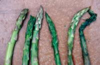 asparagus_bacterial_soft_rot