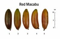 banana_speciality_Red_Macabu_Chart