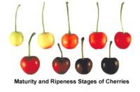 cherry_maturity_stages1440x948