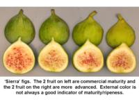 Harvest_maturity_of_Sierra_figs960x720