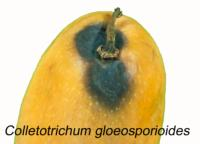 mango_Anthracnose_Stem_End_Rot