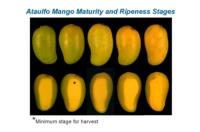mango_ataulfo_maturity_and_ripeness