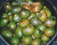 mango_Chilling_Injury2
