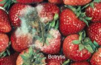 strawberry_botrytis_rot