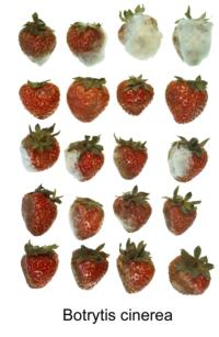 strawberry_botrytis_rot2