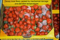strawberry_mechanical_damage