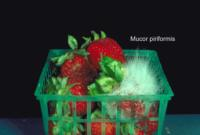 strawberry_mucor_rot1