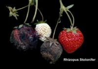 strawberry_rhizopus_rot