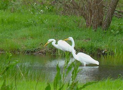 Egrets Atascadero Wetlands, from Sonoma West Times