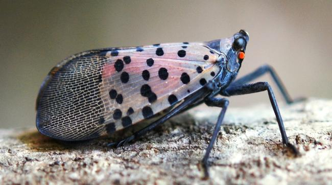 Figure 1. Side view of the adult Spotted Lanternfly (SLF).