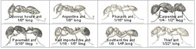 Ants from IPM ant key to ID page