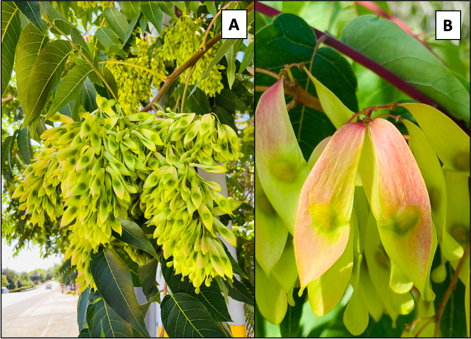 "Figure 2. Female trees can produce more than 300,000 red, yellow and green ""samaras"" that each contain one seed covered by a winged and papery tissue"