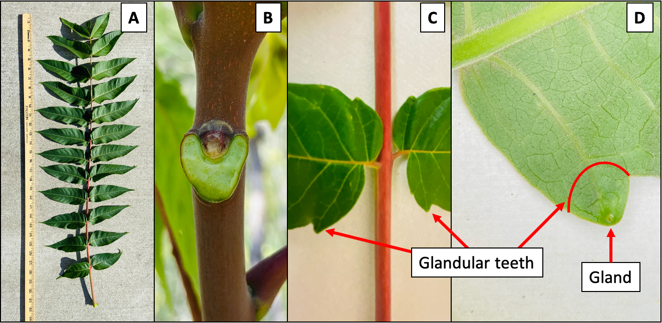 Figure 4. Leaves have a central stem with 10 to 40 leaflets attached on each side by a short petiole (A). Leaves broken off of the main stem leave a V
