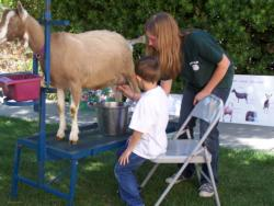 4-H member learns how to milk a goat