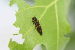 Gold Spotted Oak Borer Adult on Leaf. Photo by Tom W. Coleman