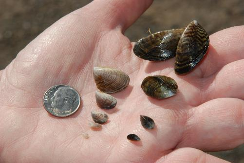 Quagga mussels (Photo by California Department of Fish and Game)