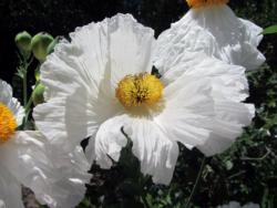 "Fig. 5. Matilija poppy was assigned to the ""very low"" water needs category in four regions."