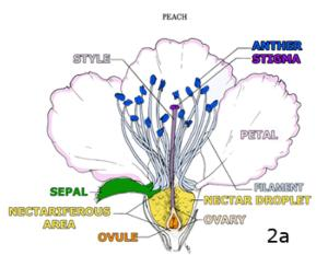 figure 2a  a perfect flower: male & female reproductive structures
