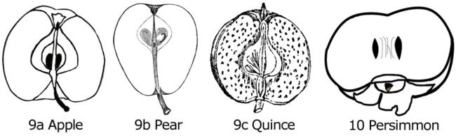 Figure 9. Longitudinal sections of apple (a), pear (b), and quince (c) fruit. Figure 10. Longitudinal sections of persimmon (a).