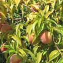 Severe potassium deficiency in peach. Photo courtesy of RSJohnson. UC Kearney Ag Ctr.
